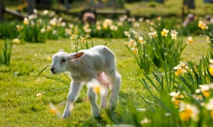 A lamb frolicking in the spring sunshine. 20 March marks the spring equinox, the astronomical start of the season
