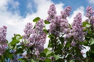 10 best: Lilacs flower on a bush