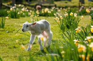 10 best: A lamb frolicking in the spring sunshine