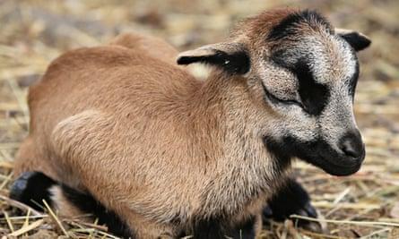 Cameroon lamb born in Kent