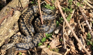 Adders: thought to be extinct in Nottinghamshire and is on the verge of extinction in Oxfordshire, Buckinghamshire, Hertfordshire and Greater London.