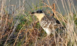 A Great Spotted Cuckoo is seen on Tenby Golf Course in Pembrokeshire, Wales