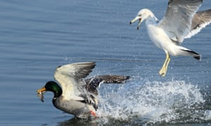 A seagull chases a mallard duck at Gyeongpo Lake in Gangneung, Gangwon Province, South Korea