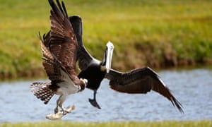An osprey carrying a fish encounters a pelican