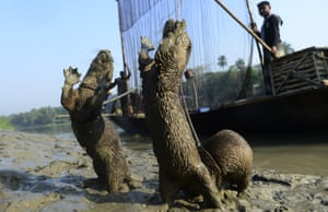 Bangladeshi fisherman feed their otters as they catch fish in Narail some 208kms from Dhaka
