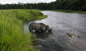 A greater one horned rhino drinks water from a river in Janakauli community forest bordering Chitwan National Park
