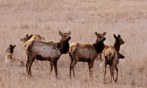 A herd of Elk listens to a distant noise at the Neal Smith National Wildlife Refuge located just south of Prairie City, Iowa