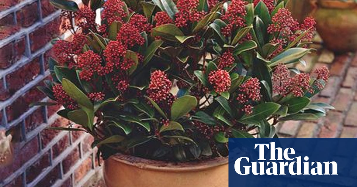 Plant Of The Week Skimmia Rubella Gardens The Guardian