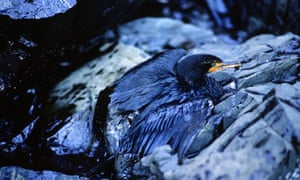 A cormorant soaked with oil from the Exxon Valdez oil spill on the sits on the beach of Green Island in Prince William Sound, Alaska