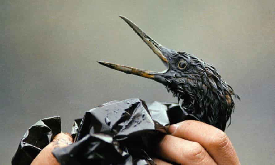 An oil soaked bird is examined on an island in Prince William Sound, Alaska, April 1989.