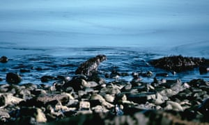 A sea otter tries to shake the oil off on the rocky shore of Knights Island after the Exxon Valdez oil spill in Prince William Sound, Valdez, Alaska.