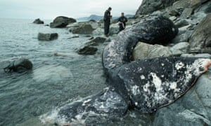 Scientists perform an autopsy on a gray whale which is stranded on the shore of Kodiak Island, Alaska, USA, after the Exxon Valdez oil spill, 1989.