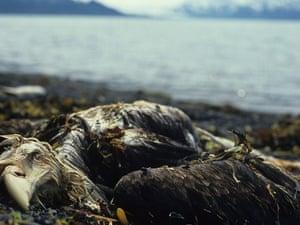 Exxon Valdez oil spill aftermath : Dead Eagle