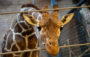 Marius the giraffe , a healthy giraffe was shot and dismembered and fed to lions