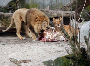 Lions tuck into the remains of the giraffe