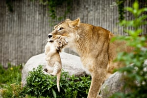 A lioness carries one of her two lion cubs, a male and a female, as they are presented to the public for the first time in Copenhagen Zoo in July  2013.