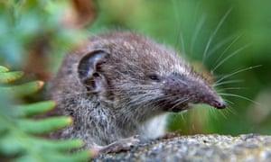 Lesser white-toothed shrew, Crocidura suaveolens