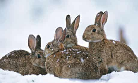 Four European rabbits sitting in the snow