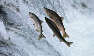 Chum salmon leaping