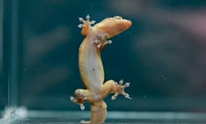 Gehyra gecko on glass