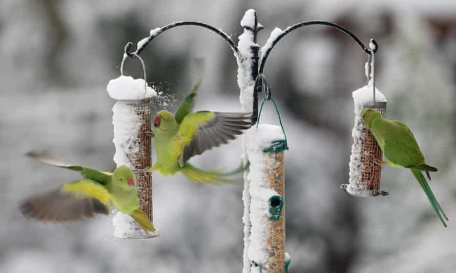 Parakeets feeding on snow-covered bird feeders. The invasive species deter native birds from feeding, a study found