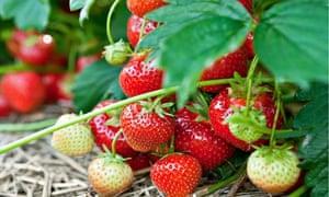 strawberry smell
