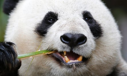 Would a panda prefer Pepsi over Pepsi Max?