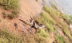 snake eats crocodile