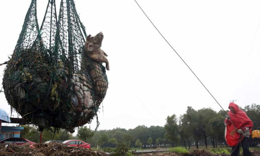 A worker hauls away bodies of dead pigs with a net in Zhonglian village of Jinshan district in Shanghai. Thousands of pig carcasses littered a river running through Shanghai in 2013