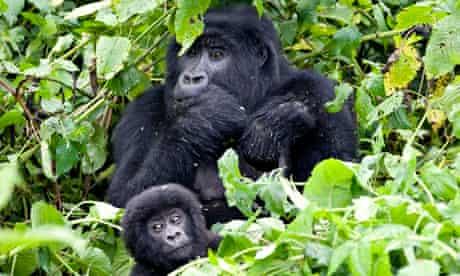 Democratic Republic of Congo - Animals - Mountain Gorillas