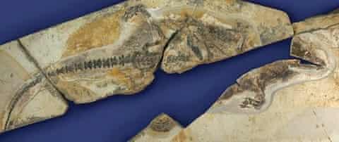 fossil mammal