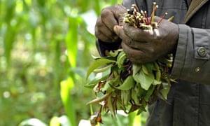 Khat, cultivated in Meru, Kenya