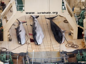 Three dead minke whales lie on the deck of the Japanese whaling vessel Nisshin Maru, in the Southern Ocean. Japan lost against Australia in a case on whaling in the International Court of Justice on Monday