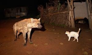 Cities: hyena 1, cat