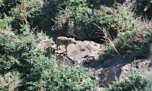 Cities: hyena 3, bush