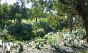 Planting a cliff site extension on Edgars Creek, Melbourne
