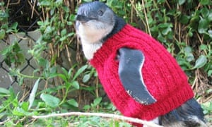 Little penguins kitted out in jumpers on Phillip Island in Victoria.