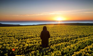 A stunning view across a field of daffodils on a cold but clear start to the day on the east coast of Scotland near Aberdeen.