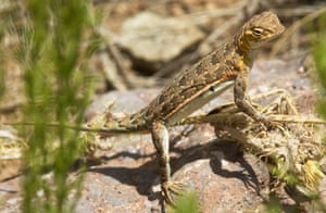 Common Lesser Earless Lizard Holbrookia maculata New Mexico