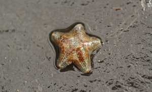 The small cushion starfish (Asterina phylactica) was found by a group of Dorset Wildlife Trust (DWT)  volunteers in rockpools during a seashore exploration on one of the lowest tides of the year in the first week of April.