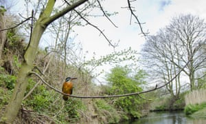 Kingfisher perched on tree River Leen, Nottinghamshire