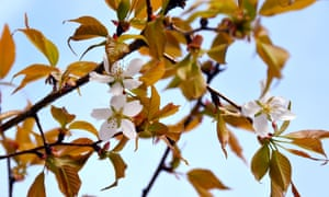 a cherry tree in bloom, grown from a cherry pit that spent time onboard the International Space Station (ISS), at the Ganjoji temple in Gifu city, central Japan.