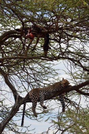 A leopard rests its head on a branch in the Serengeti National Park, Tanzania