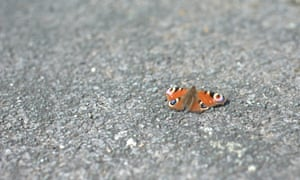 A Peacock butterfly sunning itself on a Stockport pavement