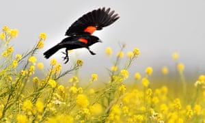 A red winged blackbird goes from flower to flower in a field of wild mustard in southeast Bakersfield