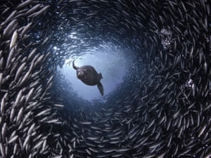 A SEA lion glides through a tunnel the length of a football field - formed by thousands of schooling black striped salema