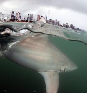A view of an oceanic blacktip shark  seen at the coast of Recife, Brazil.
