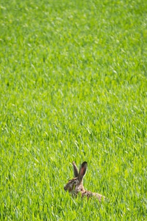 A rabbit sits in a field between green stalks, which are not yet high enough to provide complete cover, near Niederdorfelden, Germany
