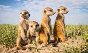 A group of baby Meerkats in Makgadikgadi, Botswana.