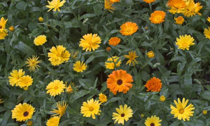 Marigold, used to make the homeopathic remedy calendula